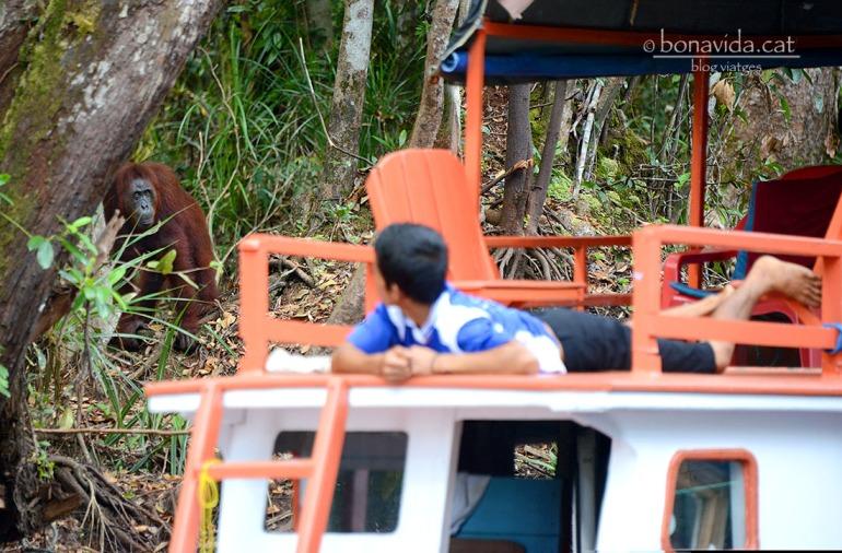 Un orangutan apropant-se a l'embarcació