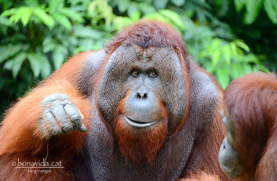 Els grans mascles destaquen per les seves grans adipositats al voltant de la cara i poden arribar als 200 kilos de pes.