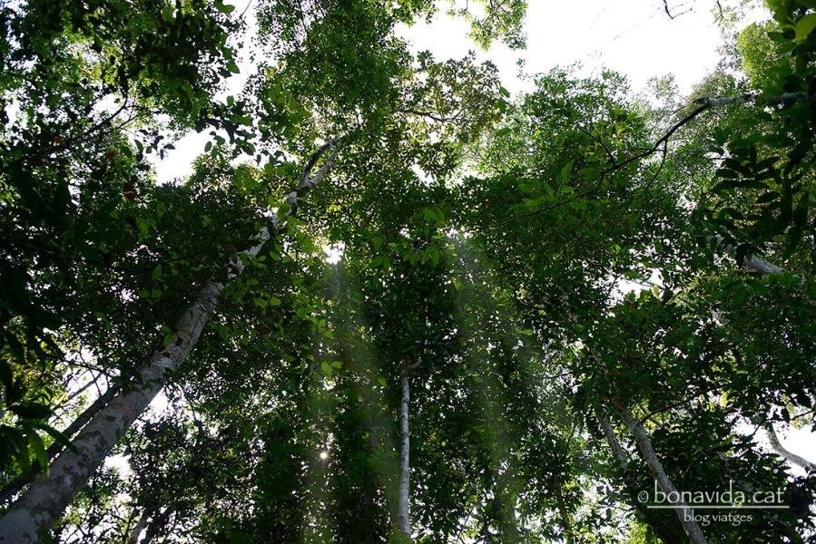 Anem caminant entre els arbres sempre mirant cap adalt