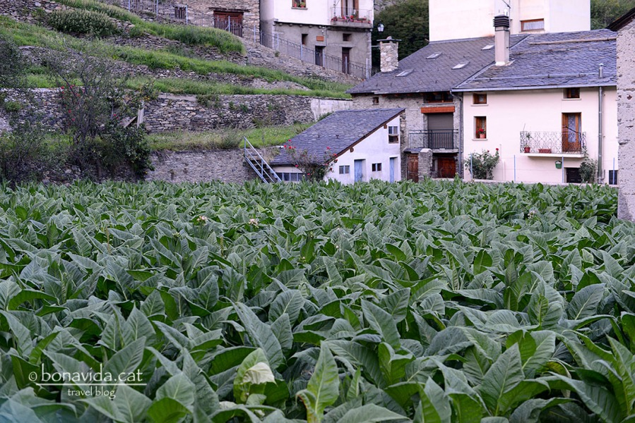 Plantacions de tabac