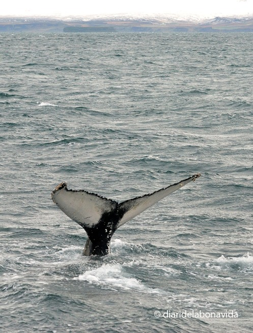 whale_iceland_6