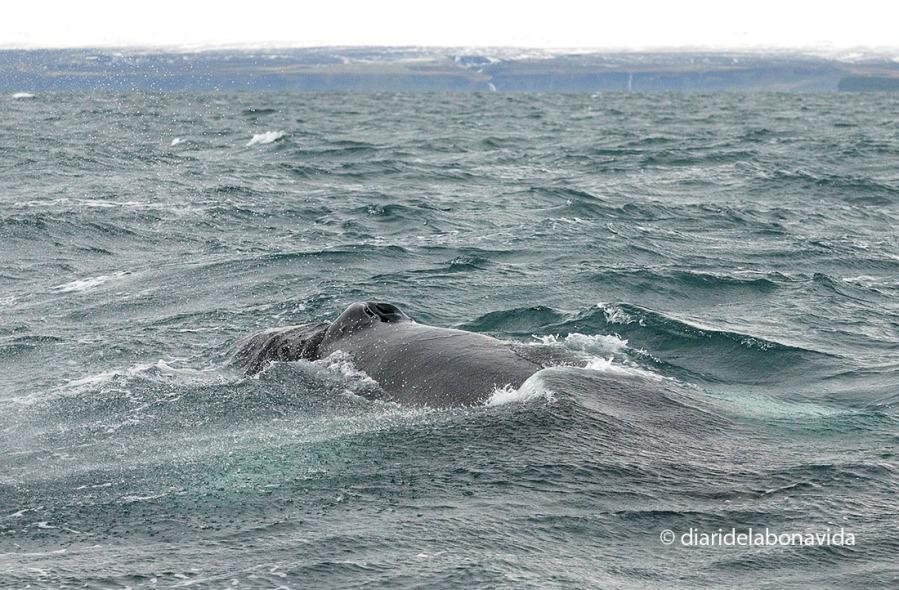 Avistament de balenes a Húsavik