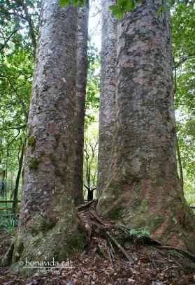 Els kauris són arbres gegants. Hem veieu al mig???