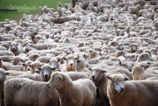 Les ovelles són els animals més populars de Nova Zelanda