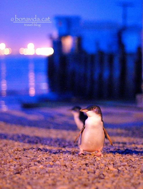 Els pinguins recorren la platja d'Oamaru a la nit