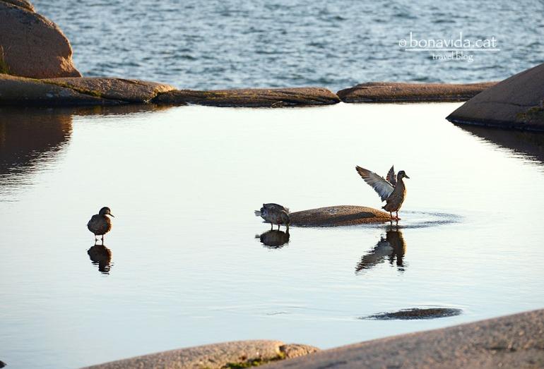 suecia Stangehuvud ducks
