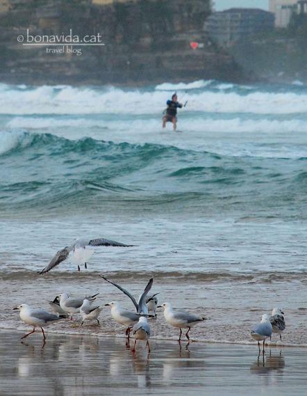 Veurem com practiquen kite-surf a Manly Beach