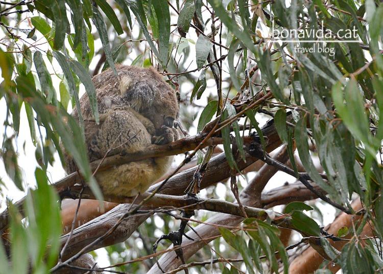Tot i la pluja espoden veure koales en llibertat a Kennet River