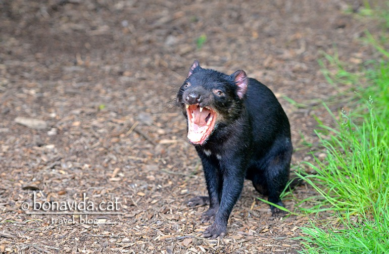 Un dimoni de Tasmània