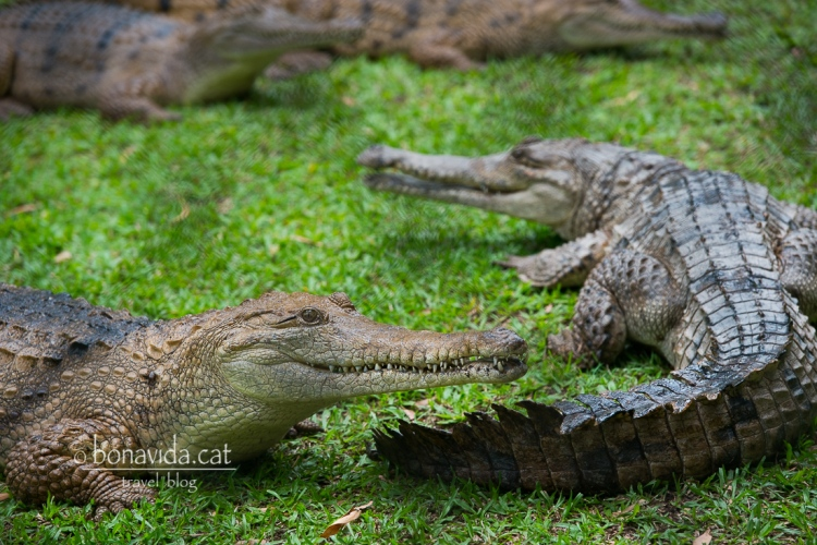 Els cocodrils són els animals més emblemàtics de la Reserva
