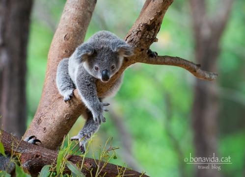 australia zoo koala
