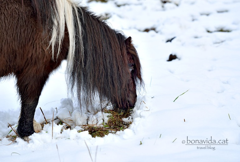 Els animals han de rebuscar entre la neu per alimentar-se