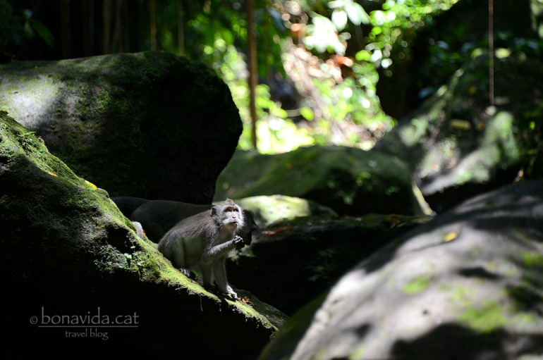 indonesia monkey forest 08