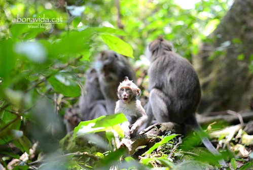 indonesia monkey forest 11