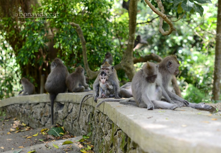 indonesia monkey forest 17