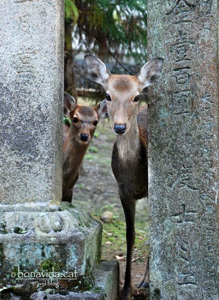 Cèrvols al recinte de Nara-Kõen.