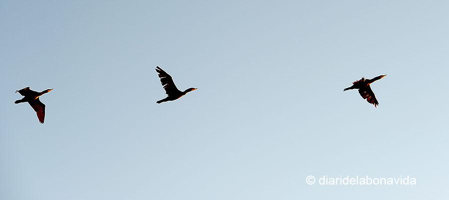 És època de migració de les aus