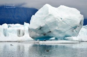 Una foca nedant entre blocs de gel