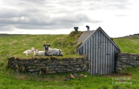 Un grup de cabres ens observa al nostre pas pel Parc Nacional de Þingvellir