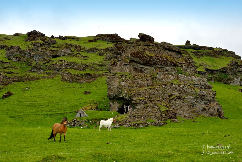 Els cavalls islandesos són uns animals bellíssims