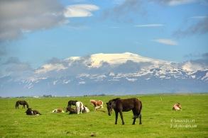 Cavalls i el volcà Eyjafjallajökull al fons