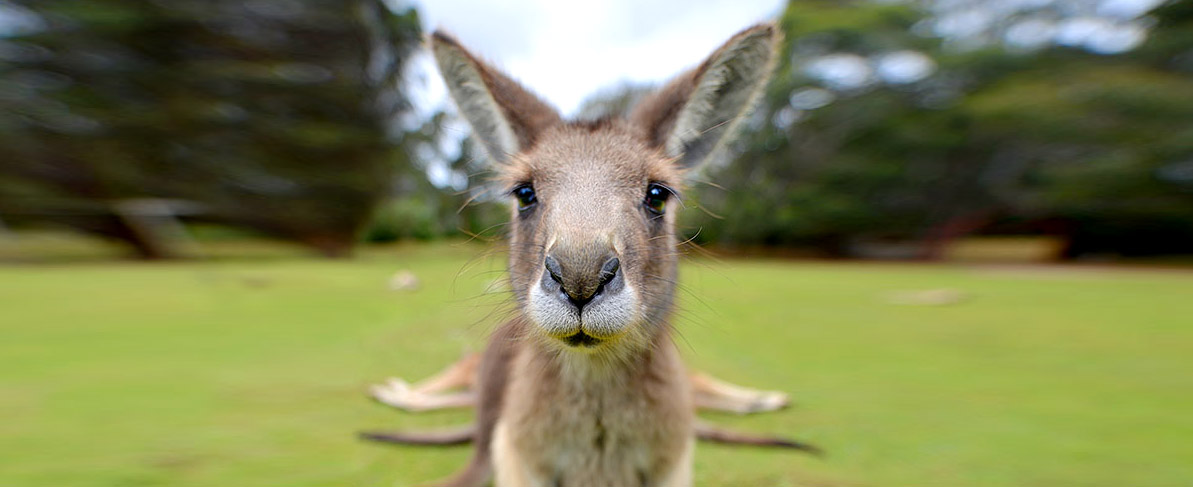 australia-cangur-tasman-pano