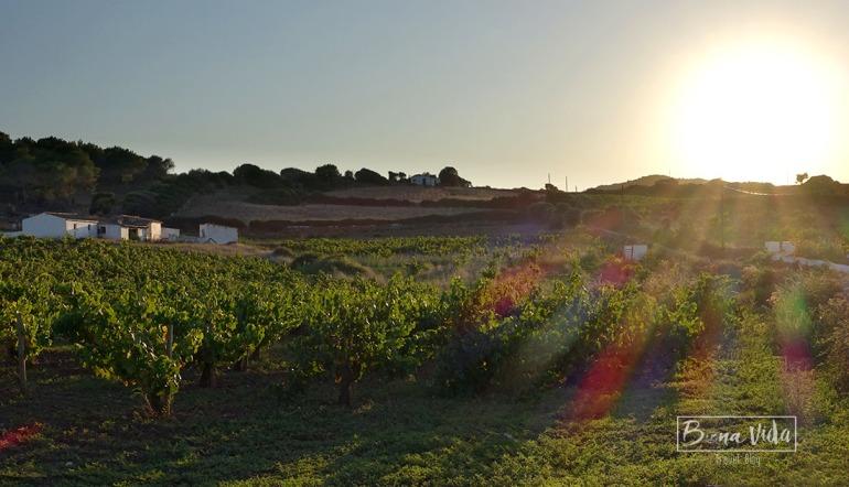 A Menorca trobem força vinyes