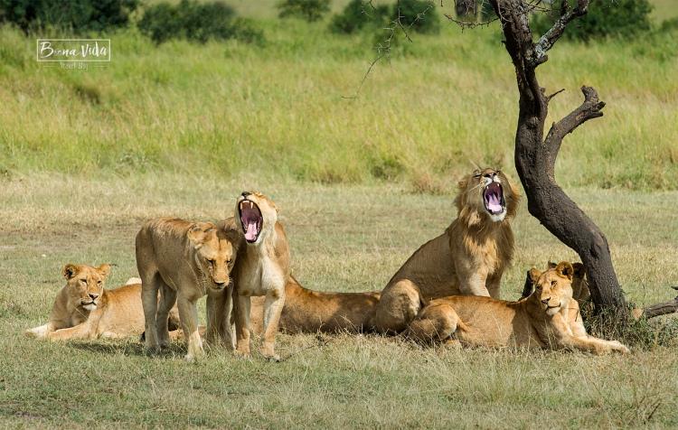 tanzania grup lleons