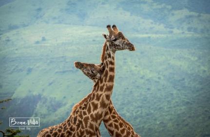 tanzania jirafes