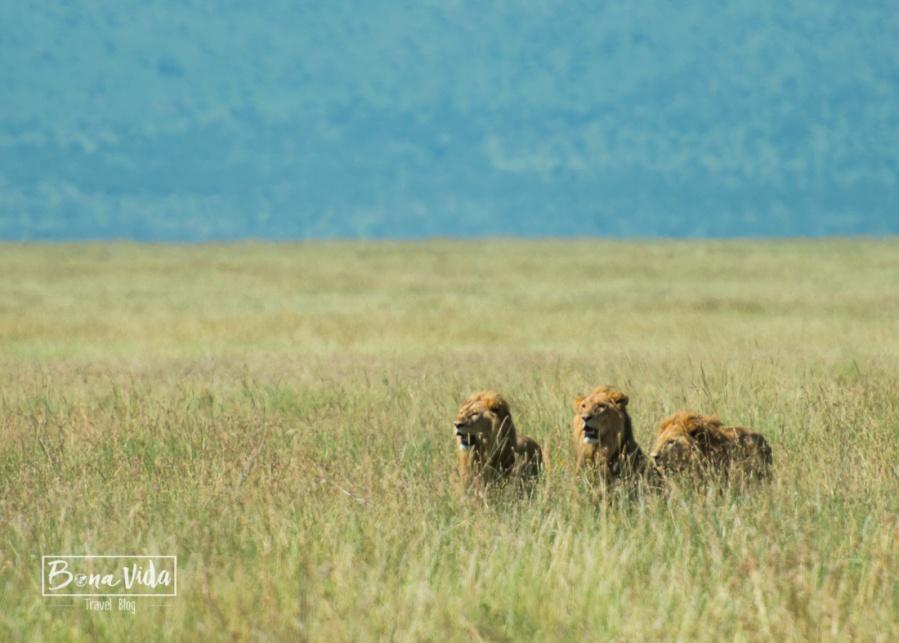 tanzania serengeti 3 lleons 2