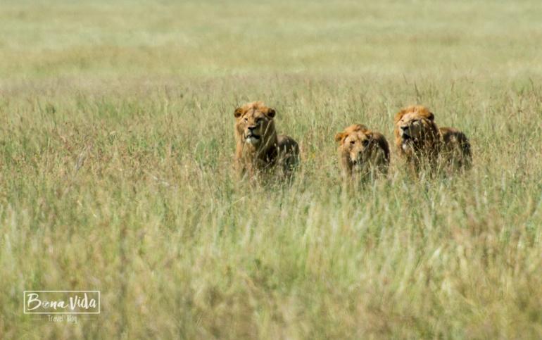 tanzania serengeti 3 lleons