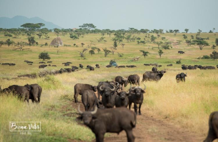 tanzania serengeti bufals general