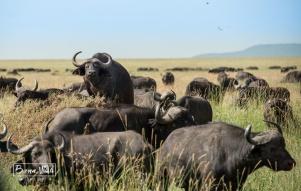 tanzania serengeti bufals