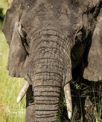 tanzania serengeti elefant detall