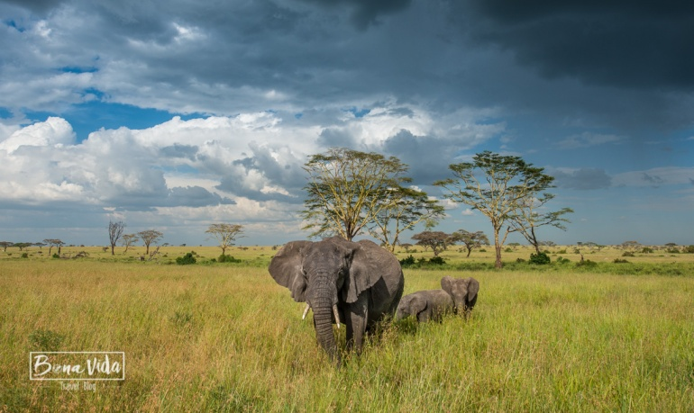 tanzania serengeti elefants colors