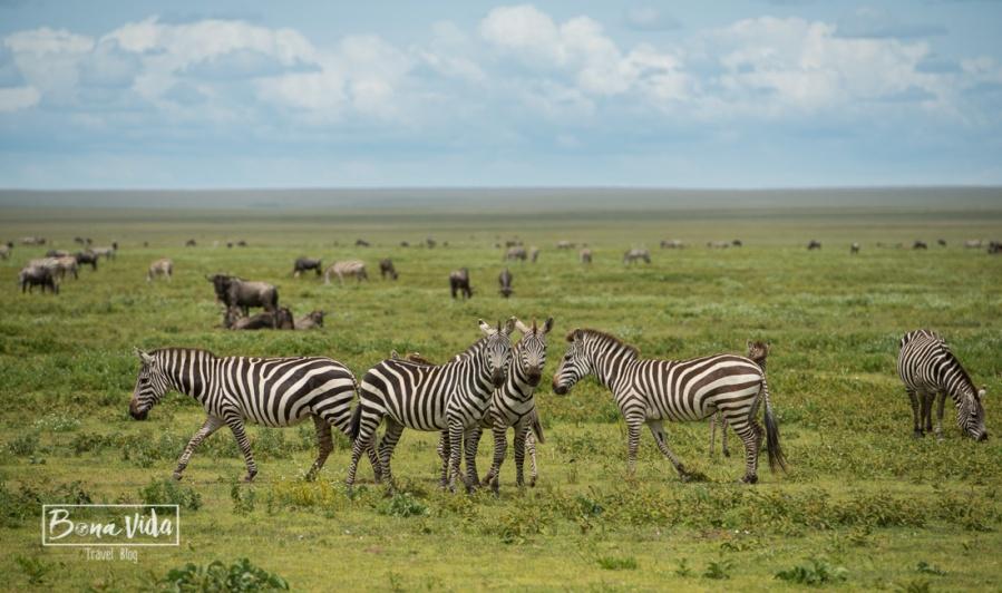 tanzania serengeti zebres