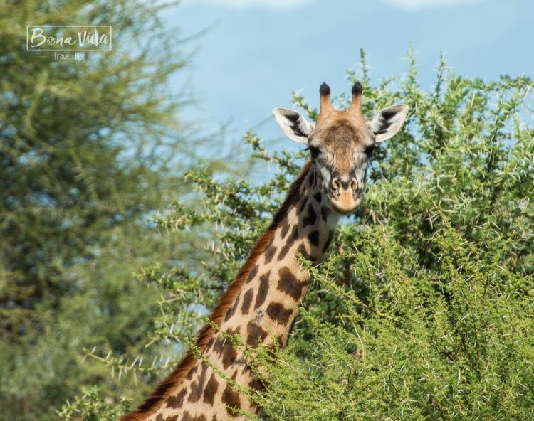 tanzania safari jirafa-1