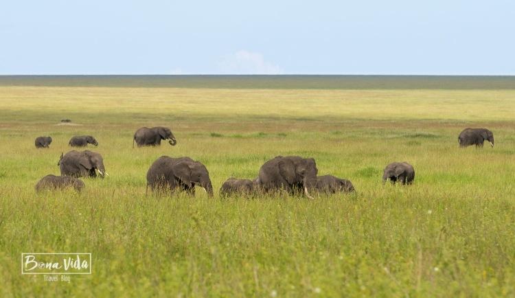tanzania safari serengeti elefants-1