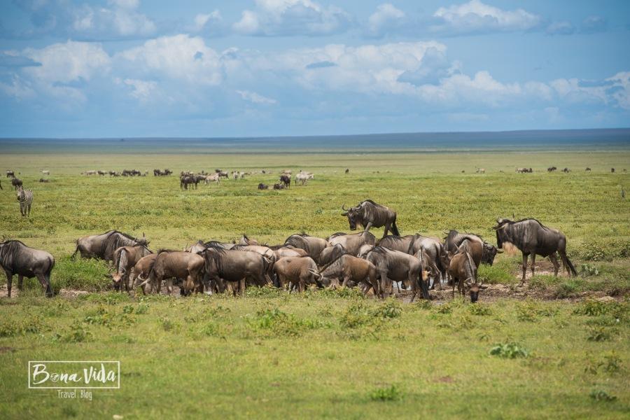 tanzania safari serengeti nyus-1