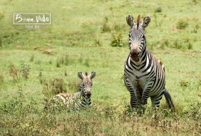 tanzania safari zebres